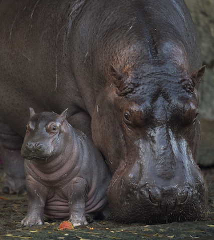 Baby Hippo Born at Disney's Animal Kingdom is a Boy